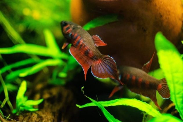 A Beautiful And Rarely Endemic Wild Betta Fish From Indonesia Betta Rubra