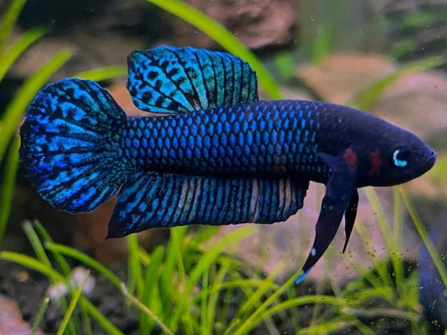Betta Hendra Is A Rare And Exotic Wild Caught Betta Fish From Southeast Asia