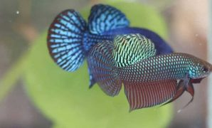Betta Smaragdina The Interesting Wild Betta Fish Whose Live In Rice Paddy