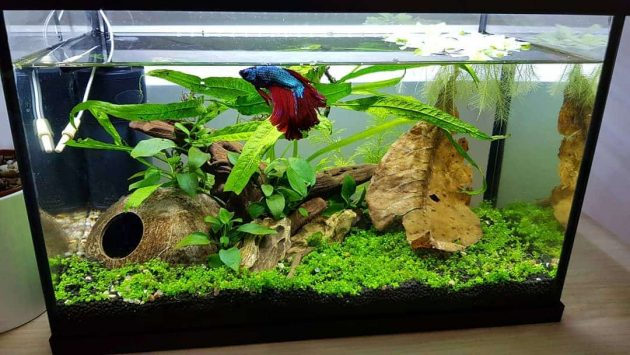 How To Treat Dropsy In Betta Fish Instantly