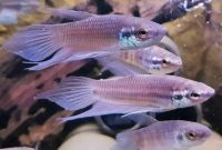 Wild Betta Pugnax Or Forest Betta Fish Complete Care Guide